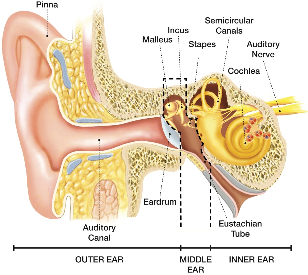 Image - Anatomy of the Ear(1)